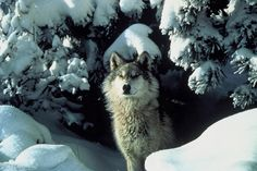 """Surrounded by SnowCredit: Tracy Brooks   Mission Wolf   USFWS Despite the """"big bad wolf"""" reputation, wolves almost never attack humans. Here, a gray wolf takes a stroll after a snowfall"""