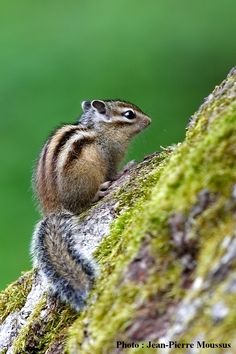 Wild Animals Photography, Wildlife Photography, Eastern Chipmunk, Baby Deco, Chipmunks, Cute Baby Animals, Super Cute, Creatures, Kawaii