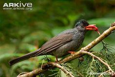 Black Bulbul(Hypsipetes leucocephalus)