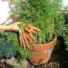 Como Plantar Cenoura em Vaso Mais