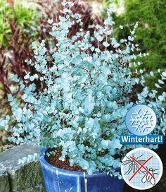 Winterharde Eucalyptus 'Azura®'