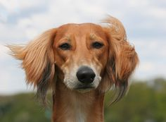 1000+ images about What is a Saluki? on Pinterest | Greyhounds, Dogs ...