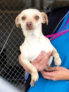 Momma-to-be! Look at this beautiful girl!  #A475617 Release date 11/15 I am a female, tan and white Chihuahua - Smooth Coated. Shelter staff think I am about 1 year and 6 months old. I have been at the shelter since Nov 10, 2014. ... City of San Bernardino Animal Control-Shelter. https://www.facebook.com/photo.php?fbid=10203928410028200&set=a.10203202186593068&type=3&theater
