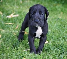 Simple Dog Care Advice For A Happier, Healthier Dog – Info About The Dog Black Great Dane Puppy, Great Dane Lab Mix, Black Great Danes, I Love Dogs, Cute Dogs, Save A Dog, Doberman, Dog Care, Snuggles