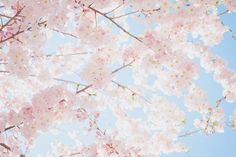 Afbeelding via We Heart It https://weheartit.com/entry/135722267/via/32289496 #blossom #cherryblossom #cute #flowers #girly #pastel #pink #white