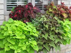 Window box idea with lots of foliage! variations of purples and greens with a little white. potato vine, coleus etc