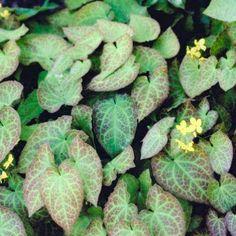 Epimedium perralderianum, groenblijvende bodembedekker, schaduw/half schaduw