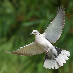 Eurasian collard dove in flight..