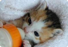Los cuidados de un gatito lactante