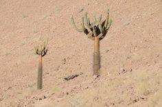 Cactus Candelabro (Browningia candelaris). Se encuentra desde Perú hasta Mamiña, al interior de Iquique- Chile, en la Cordillera de los Andes, sobre los 2.500 mts. y 2.800 mts de altura. Especie de hasta cinco metros de altura, que se caracteriza por tener un tronco columnar y ramificado solo en su parte superior, lo que le confiere el aspecto de candelabro.