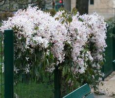 sweet autumn clematis: garage wall, spilling over to fence Bloom, Sweet Autumn Clematis, Green Thumb, Plants, Garden, Front Garden, Vine Trellis, Flowers, Clematis Armandii