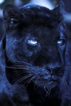 Black Panther is the symbol of femininity and rebirth. She is able to use 400 muscles voluntarily and has great control over movement and form. Big Cats, Cool Cats, Cats And Kittens, Beautiful Cats, Animals Beautiful, Animals And Pets, Cute Animals, Wild Animals, Gato Grande
