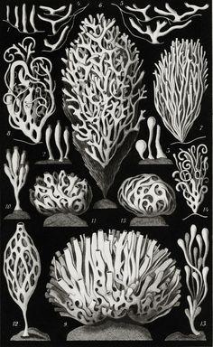 Sea Sponge - Ascandra - Marine Life Illustration