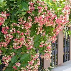 "Scarlet Honeysuckle Vine - Lonicera ""Scarlet"""