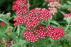 Common Yarrow 'Peggy Sue' (Achillea millefolium)