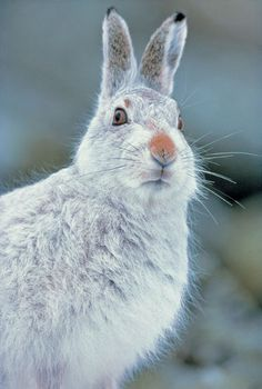 Lepus timidus (Mountain or Blue Hare), native to the UK, but also inhabits Scotland's moorlands.
