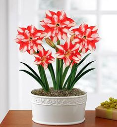 Majestic Amaryllis Garden Indoor Flowers, Indoor Plants, White Flowers, Beautiful Flowers, Amaryllis Bulbs, Amarillis, Christmas Blessings, Money Trees, Flower Pictures