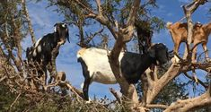 Essaouira, Morocco: Did I See Goats in Trees? - Routes and Trips Morocco, Goats, Trees, Writing Prompts, Animals, Image, Animales, Animaux, Writing Ideas