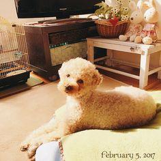 #福 #愛犬 #犬 #プードル #トイプードル #タイニープードル #dog #poodle #toypoodle #大切な家族 #最愛の息子 #愛おしい #大好き #幸せ #目に入れても痛くない #ワンコなしでは生きて行けません会 #ふわもこ部