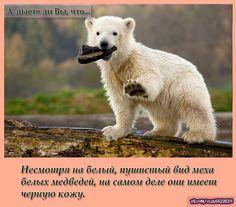 Несмотря на белый, пушистый вид меха белых медведей, на самом деле они имеет черную кожу.