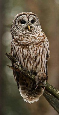 ☆ Barred Owl :¦: Photography By Bill Maynard ☆