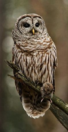 ☆ Barred Owl :¦: Photography By Bill Maynard ☆