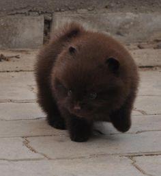 Chocolate Pom puppy (looks like a bear cub to me)