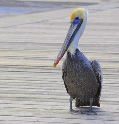 Foto pelicano-pardo (Pelecanus occidentalis) por Jürgen Meier | Wiki Aves - A Enciclopédia das Aves do Brasil
