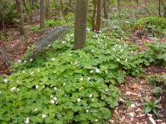 Wood sorrel is an incredible thirst quencher and is refreshing to eat. The leaves, flowers, and immature green seed pods are all edible having a mild sour flavour that  resemble lemons. Wood sorrel can be added to salads and soups and it can also be used as a seasoning. Wood sorrel tea when cooled can make a refreshing beverage.