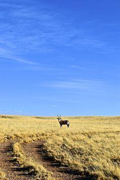Gemsbok in the distance: near Sesriem, Namibia