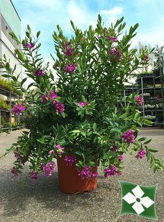 Polygala myrtifolia  http://zinipiante.it/schedap_fra.php?id_p=POLYMYRT&l=1