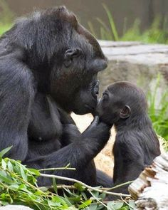 Gorilla mother-child kiss.