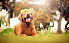 Dog With Flowers Crown Check more at http://hdwallpaperfx.com/dog-with-flowers-crown/