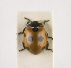 Coccinella septempunctata, seven-spot ladybird, dried specimen