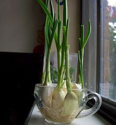 You can regrow garlic sprouts from a single garlic clove. Just place the garlic cloves in a small cup with a little water and let it grow. The garlic sprouts have gentle flavor than garlic and can be added to pasta, salads and other dishes. Garlic Sprouts, Garlic Chives, Grow Garlic, Fresh Garlic, Grow Chives, Growing Herbs, Growing Vegetables, Regrow Vegetables, Growing Garlic From Cloves