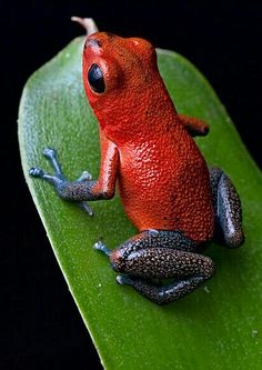 Dardo Azul Frog, Blue Jeans and/or Strawberry Poison Dart Frog (Dendrobates/Oophaga pumilio)