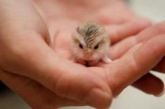 Baby hamster.  (I don't believe this.  Really, I can't bring myself to think of this animal as a hamster.  It's a bird, right?)
