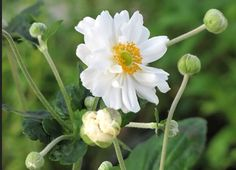 x hyb. 'Whirlwind' White, semi-double flowers appear from August to November. Height Spread Can spread rapidly when established. White Flowering Shrubs, Front Path, White Anemone, Herbaceous Perennials, Family Garden, Shade Garden, Pale Pink, Bloom, Instagram