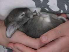 This little bunny was probably kidnapped from its Mother. Some think that its mother was killed, but NO. Mothers don't stay with their newborns because they draw predators. So if you find baby bunnies don't touch them! Their Mommy's are watching from afar!