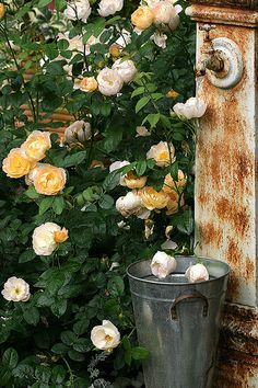 Austin rose 'Coniston' Garden Sink, Seaside Garden, Austin Rose, Rustic Fence, Briar Rose, David Austin, Yellow Cream, English Roses, Shop Ideas