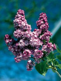 How to Grow Lilac Bushes....One of the easiest plants to grow even in poor soil.