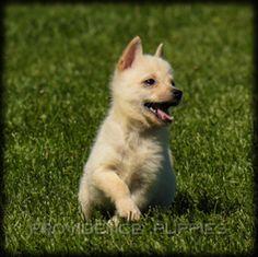 Cream Schipperke Puppies Schipperke Puppies Puppies Schipperke