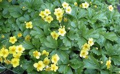 Waldsteinia ternata / goudaardbei is een groenblijvende bodembedekker voor schaduw of halfschaduw. Bloeit april-juni met gele bloemen. Hoogte ca. 20 cm.