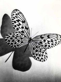 Pierre Auradon (ANI0037) Butterfly Study, circa 1950. Silver print. Price: € 160.00
