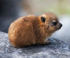 The petrified excrement of this little animal called a hyrax is used in perfumes. (Cf. ambergris)
