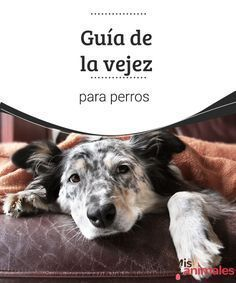 Guía de la vejez para perros Si tu perro tiene entre 5 y 6 años de edad, ya está entrando en su etapa de adulto. Encuentra aquí una guía de la vejez para perros con algunos consejos. #guía #vejez #perro #consejos