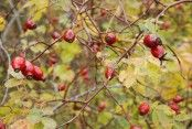 Nypon Changing Leaves, Canning, September, Poetry, Roses, Autumn, Food, Nature, Wine