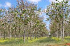 The Empress Tree (Royal Paulownia)...Should I?   eBay