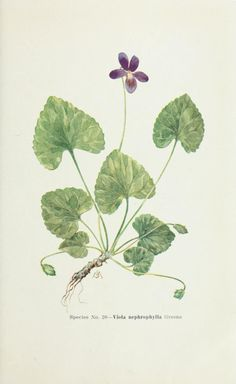 Viola nephrophylla. Plate from 'Violets of North America'  by Ezra Brainerd. Published 1921