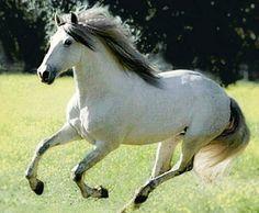 Pura Raza Española stallion, Altanero ER.
